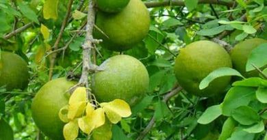 You can get rid of any kind of diseases with bell leaf, know about it