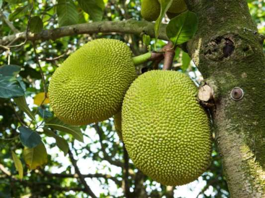 Jackfruit is most beneficial for a healthy heart