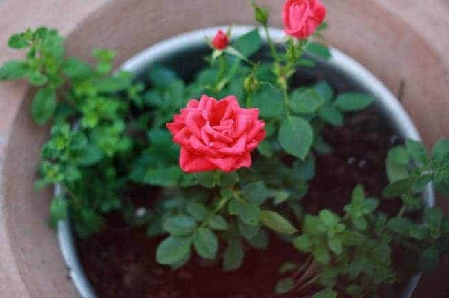 Know the importance of planting a rose plant at home and its benefits