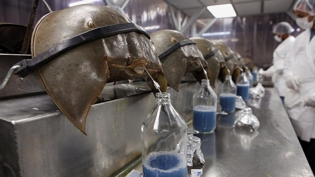 Blue blood of this unique animal sells for 10 lakh rupees a liter.