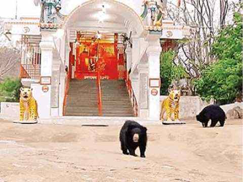 A temple where wild bears come to worship every morning and evening, you will be shocked to know the reason
