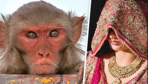 इस गांव में लड़कियां बंदरों के कारण वर्जिन हैं,जानिए क्या वजह