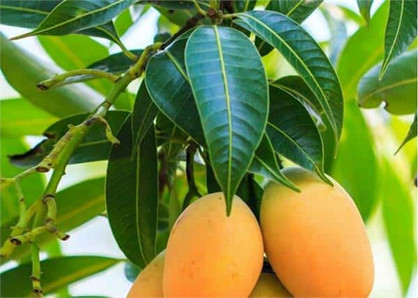 Know what are the benefits to our body by chewing mango leaves, by clicking