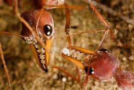 How many years ants live, interesting facts related to them