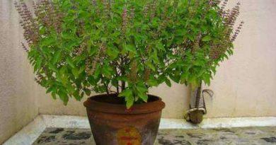 वास्तु शास्त्र के अनुसार तुलसी का पौधा आपके घर में कितना है शुभ