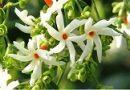 हरसिंगार के फूलों की क्या विशेषता है?