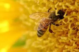 एक मधुमक्खी कितने अंडे देती है?