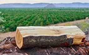 दुनिया का सबसे कीमती पेड़ कौन सा है और यह कहां पाया जाता है? जानिए