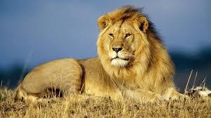 शेर जंगल का राजा क्यों है, चीता क्यों नहीं? जानिए वजह