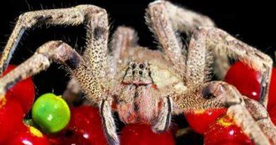 दुनिया में सबसे जहरीली मकड़ी में से से एक है ये 9 मकड़ी
