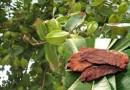 क्या अर्जुन के पेड़ की छाल ह्रदय रोग में काम आती है? जानिए सच