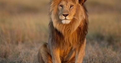 शेरों के बारे में कुछ दिमाग उड़ाने वाले तथ्य कौन से हैं? जानिए आप भी