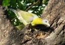 जानिए हरियल पक्षी के बारे में कुछ रोचक तथ्य क्या हैं?