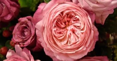 यह है दुनिया का सबसे महंगा गुलाब