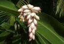 ऐसा कौन-सा पौधा है जिसके उपयोग करने से हमेशा जवान रहा जा सकता है? जानिए सच